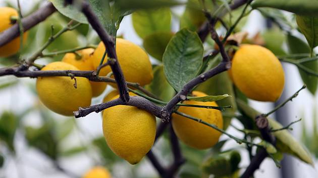 Úroda citrusů v palmovém skleníku v Olomouci. 6. února 2020
