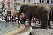 Cirkusoví sloni afričtí u Arionovy kašny v Olomouci