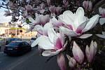 Kvetoucí magnolie na třídě Svobody v Olomouci