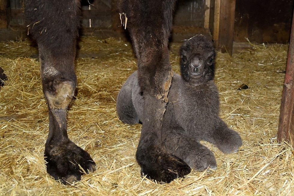 V olomoucké zoo na Sv. Kopečku se narodilo mládě velblouda dvouhrbého.