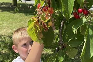 Dozrály první třešně. Nejen děti je berou útokem, Litovel 15. června 2021
