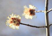 Javor stříbrný (Acer saccharinum), samičí květy, Rozárium. Tento Severoamerický druh javoru je typický svými na rubu stříbřitě bělavě chlupatými listy. Ve své domovině je pro svou sladkou mízu využíval jako zdroj cukru. Pro svůj rychlí růst je oblíbenou d