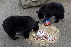 V Zoo Olomouc připravili oslavu ročním mláďatům medvěda baribala