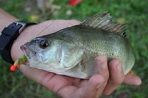 Okoun v pevné ruce rybáře.