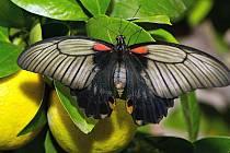 Volně poletující motýli v motýláriu Florcentra Olomouc.