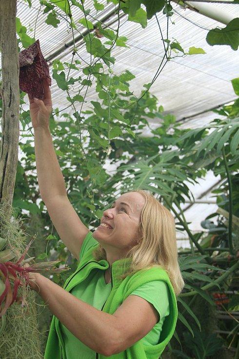 Zahradnice Jana Pajerová ukazuje květ Podražce obrovského.