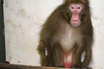 Šimpy v karanténě v olomoucké zoo