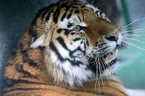 Samec tygra ussurijského Amur v olomoucké zoo