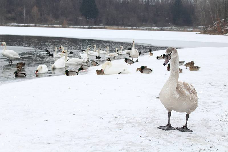 Labutě na Stříbrném jezeře v Opavě