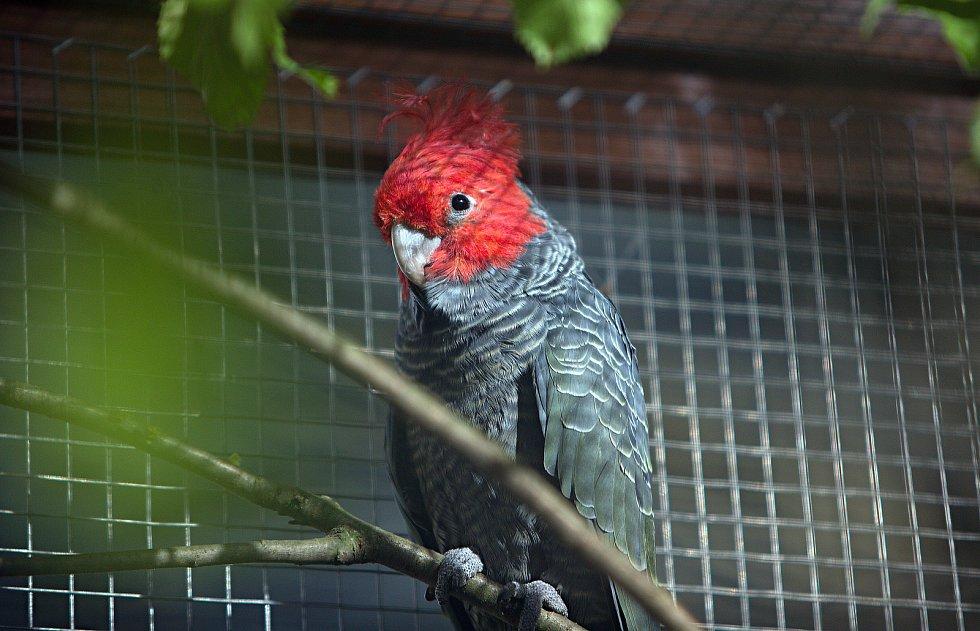kakadu přílbový