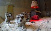 Surikaty v olomoucké zoo na Svatém Kopečku