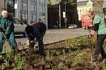 Zahradníci z výstaviště Flora vysazují na třídě Svobody v Olomouci trvalky a jarní cibuloviny