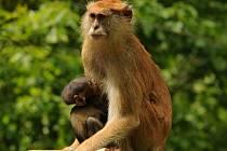 Zoo Olomouc se raduje z mláděte, které se narodilo ve skupině kočkodanů husarských.