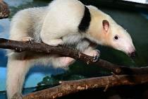 Zoo Olomouc se pochlubila samičkou mravenečníka čtyřprstého.