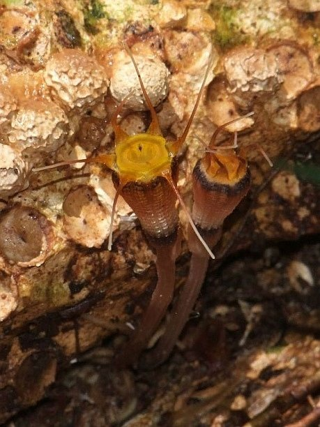 Olomoučtí přírodovědci našli na Borneu novou rostlinu, nazvali ji Thismia hexagona