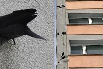 Kavka obecná by chtěla zahnízdit, ale nemá kde. Útokem bere zateplené fasády. Vpravo dům ve Šmeralově ulici v Olomouci