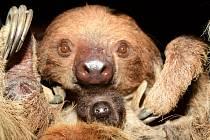 Mládě lenochoda dvouprstého v olomoucké zoo. Leden 2021