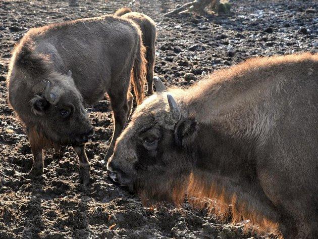 Dvě mláďata zubra evropského letos posílila chov největšího evropského savce v olomoucké zoo na Svatém Kopečku.