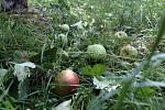 Zničená úroda v sadech Vilémov   ZD Senice na Hané.