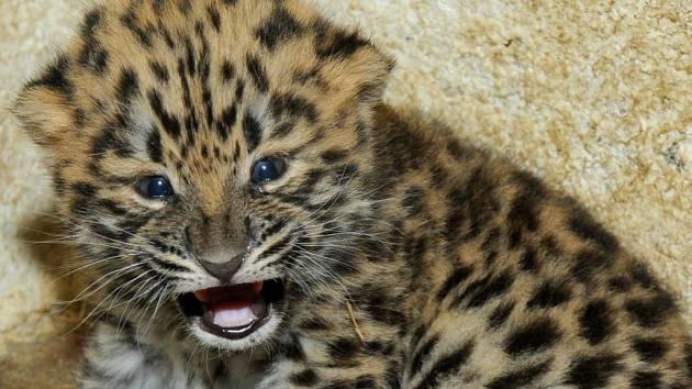 Kotě levharta mandžuského v olomoucké zoo