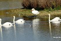 Na rybníku nedaleko Majetína se usadily labutě.
