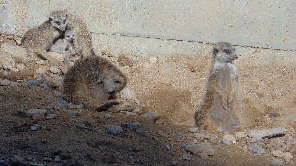 V pavilonu Kalahari olomoucké zoo se rodina surikat stará o tři batolata