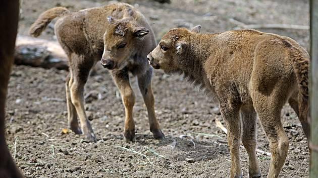 Dvě červnová mláďata zubra evropského v olomoucké zoo.