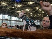 Výstava koček na olomouckém výstavišti Flora