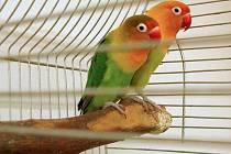 Nalezení papoušci skončili v olomoucké zoo