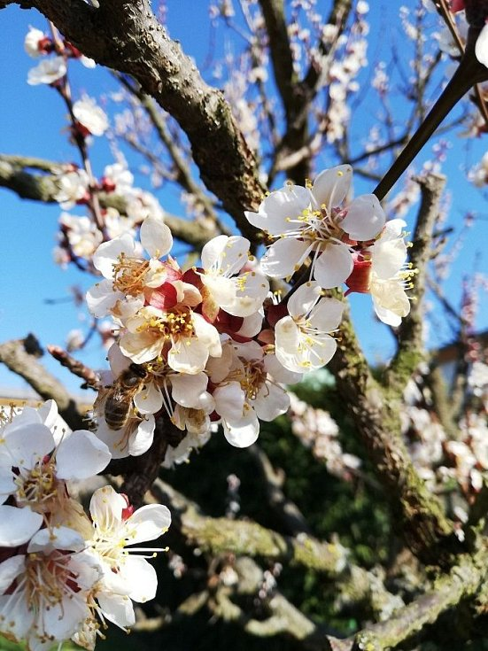 Pilné včely na meruňce. Šternberk, 3.4.2020