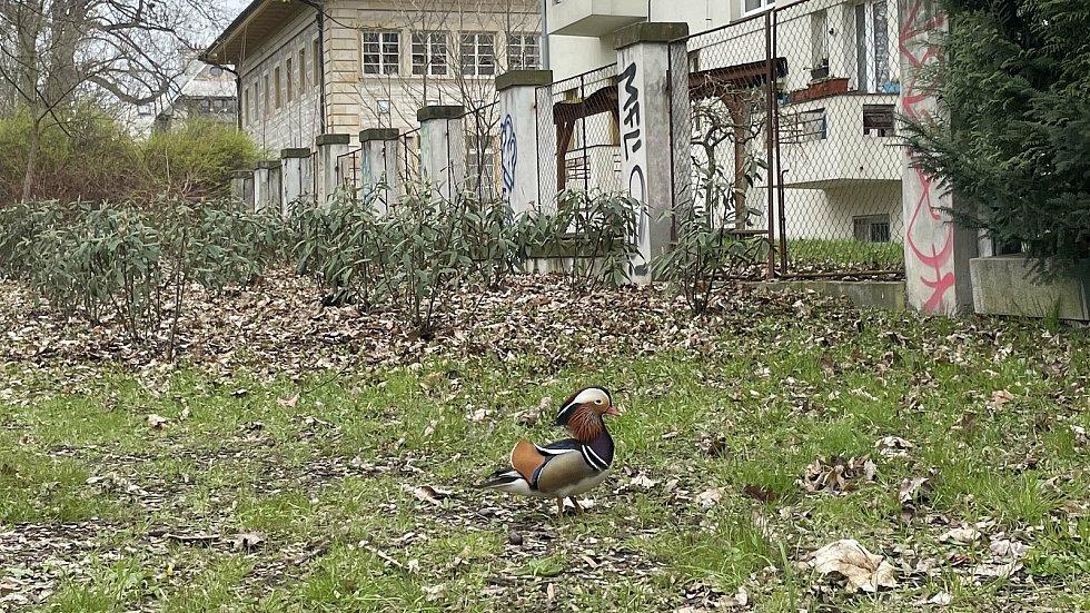 Kachnička mandarínská v Olomouci vyrazila do parku, 18. dubna 2021