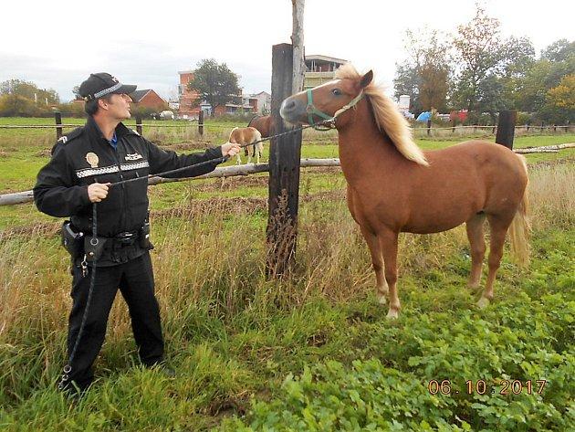Po Lazcích se potuloval kůň, chytali jej strážníci. Foto: