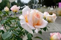 Olomoucké rozárium o víkendu ožije výstavou Vyznání růžím. Pořadatelé připravili workshopy, přednášky, besedy i poradnu pro pěstitele růží. Nebude chybět ani doprovodný kulturní program.