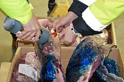 Likvidace nakaženého masa z Polska, které veterináři našli v olomouckém skladu