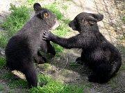 Medvíďata baribalů skotačí ve výběhu olomoucké zoo