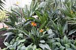 Květy a úroda citrusů v palmovém skleníku v Olomouci. 6. února 2020. Strelície královská