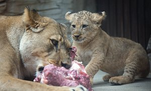 Jubilejní dvacáté lvíče lva berberského odchované v olomoucké zoo