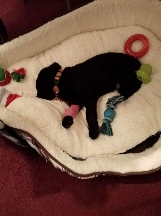 Lucky byl v ohrožení života. Na snímku v prvních dnech u majitelky, kdy dostával kapačky.