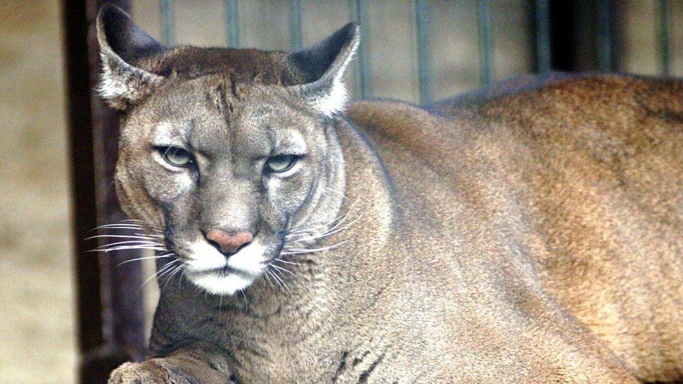 Puma americká. Tento druh je k vidění i ve Faunaparku v Horní Lipové