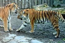 Zoo na Svatém Kopečku doufá, že po třiceti letech odchová mláďata tygra ussurijského