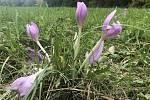 Do Terezského údolí lákají ocúny. Zdejší vlhké louky pokryly tisíce květů těchto pozoruhodných bylin vykvétajících na podzim – odtud ocún jesenní, 13. října 2020