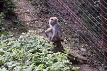 Nově otevřený opravený výběh makaků. Čtyřem z devíti členné tlupy se podařilo utéct.
