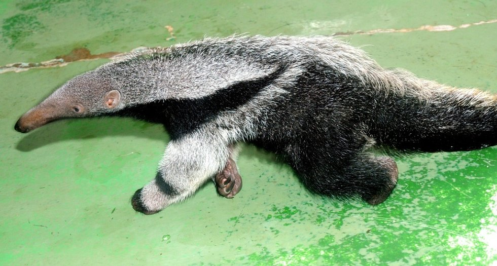 Roxy - mládě mravenečníka odchované v olomoucké zoo