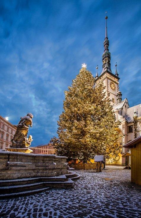 2. Olomouc, Horní náměstí, borovice Snílek, 22 metrů