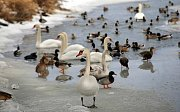 Labutě a kachny na řece Moravě u kojeneckého ústavu v Olomouci