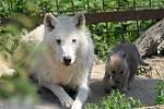 Návštěvníkům olomoucké zoo se ukázala tři nová mláďata sněhobílých vlků Hudsonových.