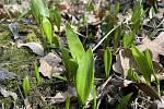 V lesích Království se již začíná zelenat medvědí česnek, 20. března 2021