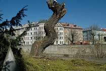 Ořezaná vrba na nábřeží Moravy v centru Olomouce