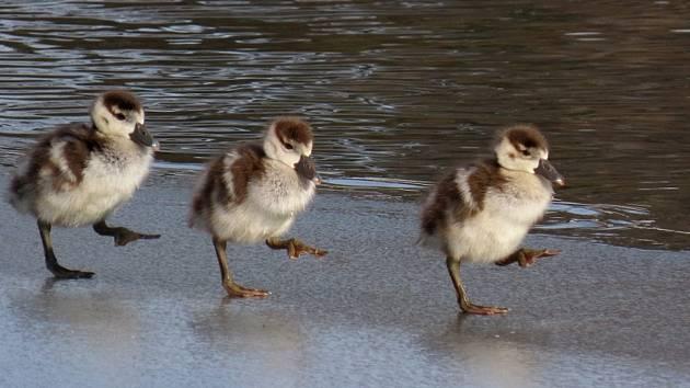 Nejčasnější hnízdění husice nilské vČeské republice zaznamenali odborníci na rybníce vMajetíně na Olomoucku.