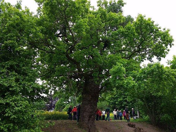 350 let starý dub vBílé Lhotě